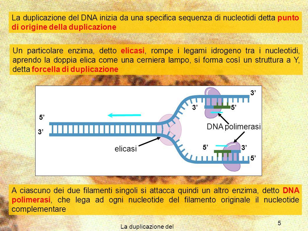 La duplicazione del DNA 6 5 5 3 5 3 3 5 3 3 5 5 3 Filamento guida Filamento lento Poiché laggiunta dei nucleotidi può avvenire solo nella direzione da 5 a 3, uno dei due filamenti, detto filamento guida, può allungarsi senza interruzioni nella stessa direzione in cui si sposta la forcella di duplicazione Laltro filamento invece è chiamato filamento in ritardo e viene sintetizzato in modo discontinuo a partire da corti segmenti, della lunghezza di 100 – 200 nucleotidi, detti frammenti di Okazaki, assemblati in direzione 5 3 a partire da punti in prossimità della forcella di duplicazione I frammenti di Okazaki vengono poi legati tra loro da un enzima detto DNA ligasi Okazaki fragment