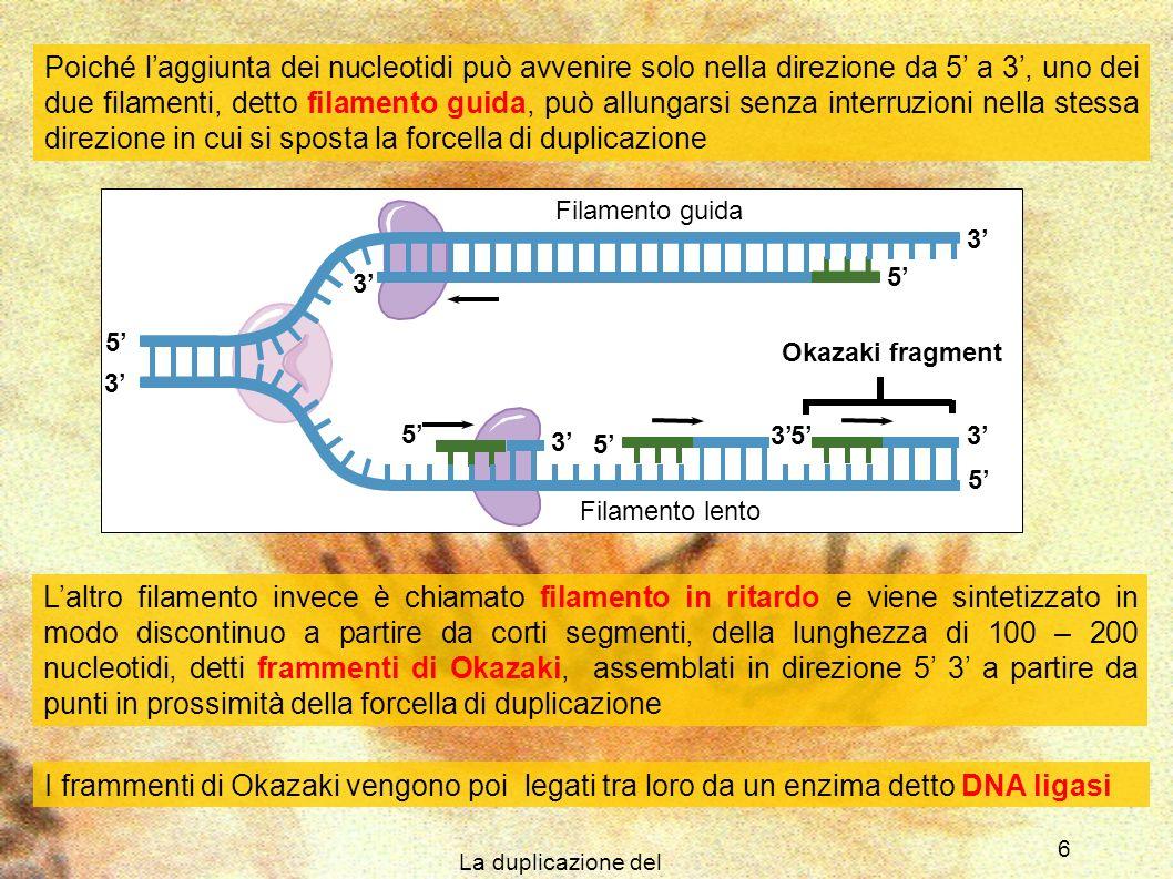 La duplicazione del DNA 6 5 5 3 5 3 3 5 3 3 5 5 3 Filamento guida Filamento lento Poiché laggiunta dei nucleotidi può avvenire solo nella direzione da