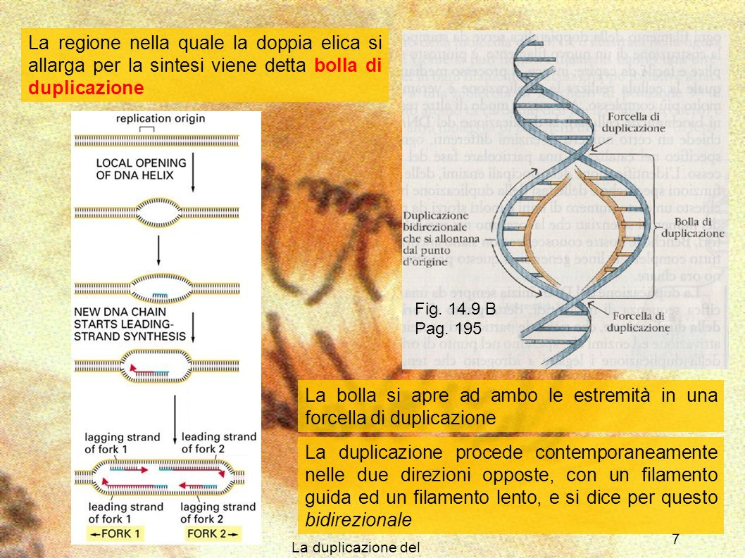 La duplicazione del DNA 7 La regione nella quale la doppia elica si allarga per la sintesi viene detta bolla di duplicazione Fig. 14.9 B Pag. 195 La d