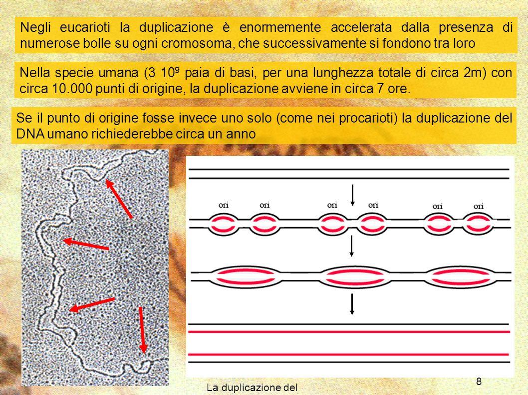 La duplicazione del DNA 9 La duplicazione termina quando tutte le bolle si sono fuse assieme Come risultato finale si hanno due doppie eliche, ognuna delle quali è formata da un filamento stampo (appartenente alla molecola originale) e da un filamento copia (di neoformazione) Per questo motivo la duplicazione del DNA si definisce anche semi conservativa Poiché la duplicazione del DNA è un processo vitale per la cellula, essa mette in atto numerosi meccanismi che ne controllano lesatta esecuzione Uno di questi, detto proofreading (controllo di lettura) viene svolto direttamente dalla DNA polimerasi durante la sintesi stessa Altri meccanismi di controllo del DNA sono attivi durante tutta la vita cellulare, riuscendo a rimuovere difetti di varia origine della sua struttura Quando i meccanismi di controllo falliscono, il DNA va incontro a mutazioni
