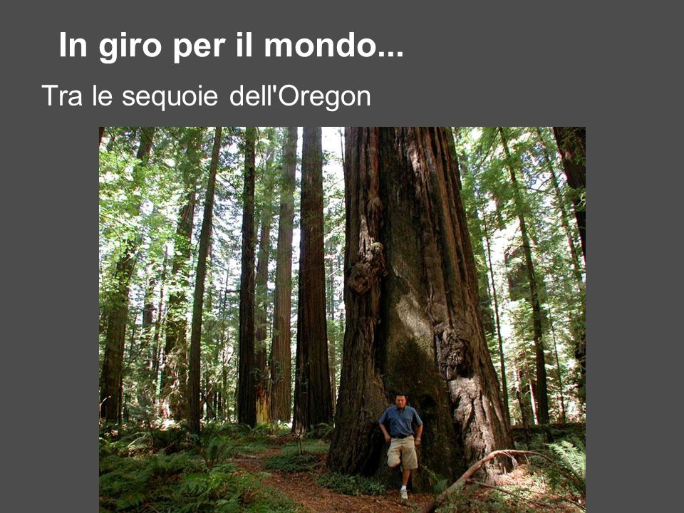 In giro per il mondo... Tra le sequoie dell Oregon