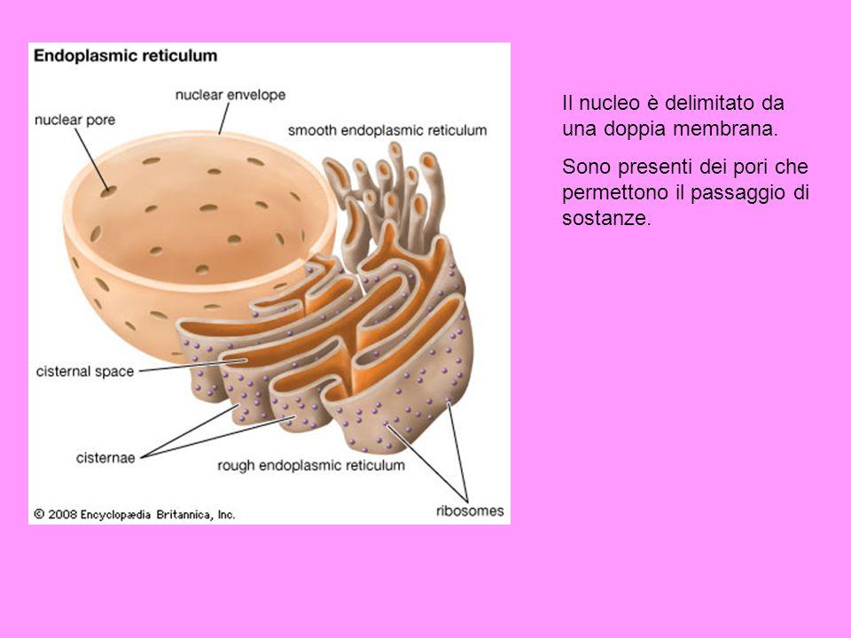 Il nucleo è delimitato da una doppia membrana. Sono presenti dei pori che permettono il passaggio di sostanze.