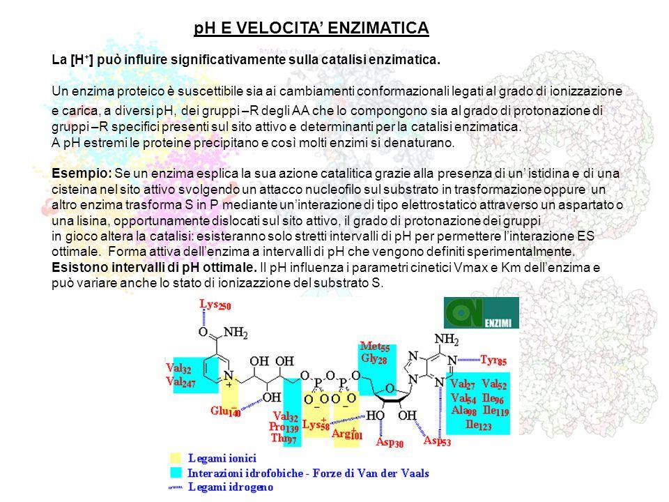pH E VELOCITA ENZIMATICA La [H + ] può influire significativamente sulla catalisi enzimatica. Un enzima proteico è suscettibile sia ai cambiamenti con