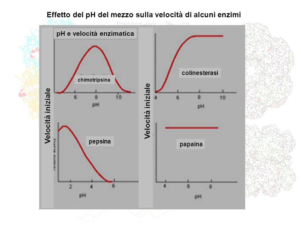 Effetto del pH del mezzo sulla velocità di alcuni enzimi chimotripsina colinesterasi pepsina papaina Velocità iniziale pH e velocità enzimatica