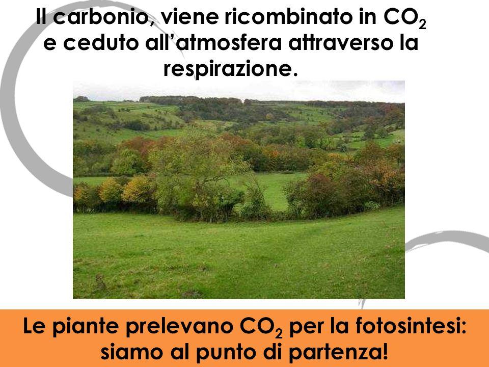 Il carbonio, viene ricombinato in CO 2 e ceduto allatmosfera attraverso la respirazione. Le piante prelevano CO 2 per la fotosintesi: siamo al punto d
