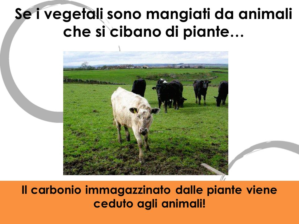 Se i vegetali sono mangiati da animali che si cibano di piante… Il carbonio immagazzinato dalle piante viene ceduto agli animali!