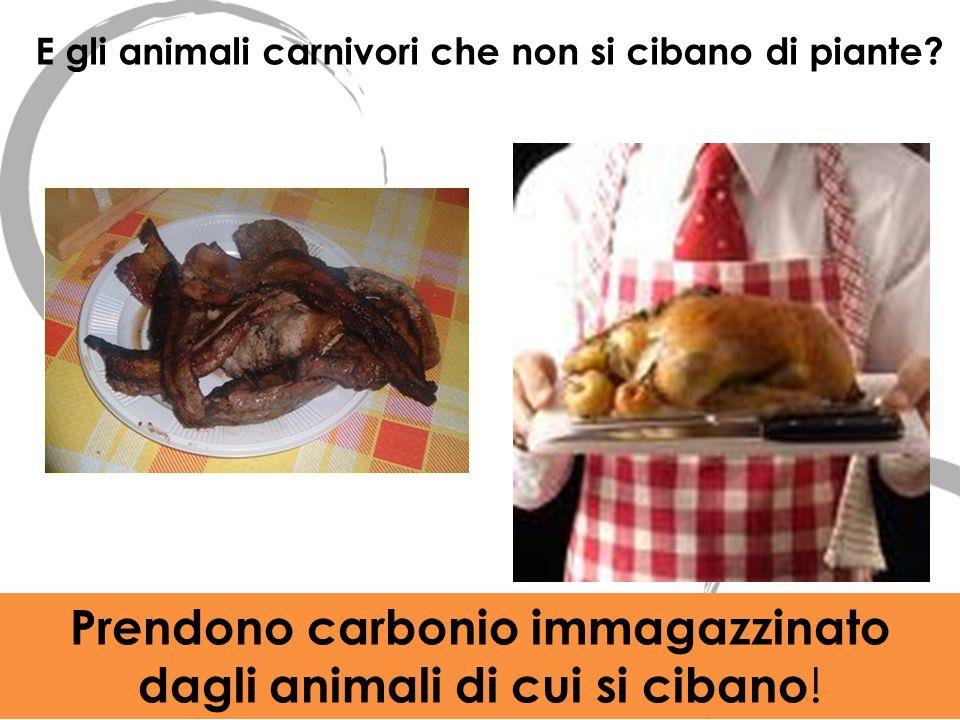 E gli animali carnivori che non si cibano di piante? Prendono carbonio immagazzinato dagli animali di cui si cibano !