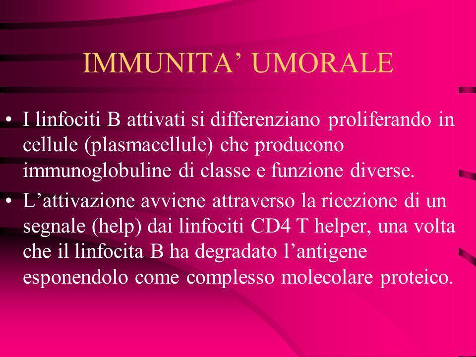 IMMUNITA UMORALE I linfociti B attivati si differenziano proliferando in cellule (plasmacellule) che producono immunoglobuline di classe e funzione di