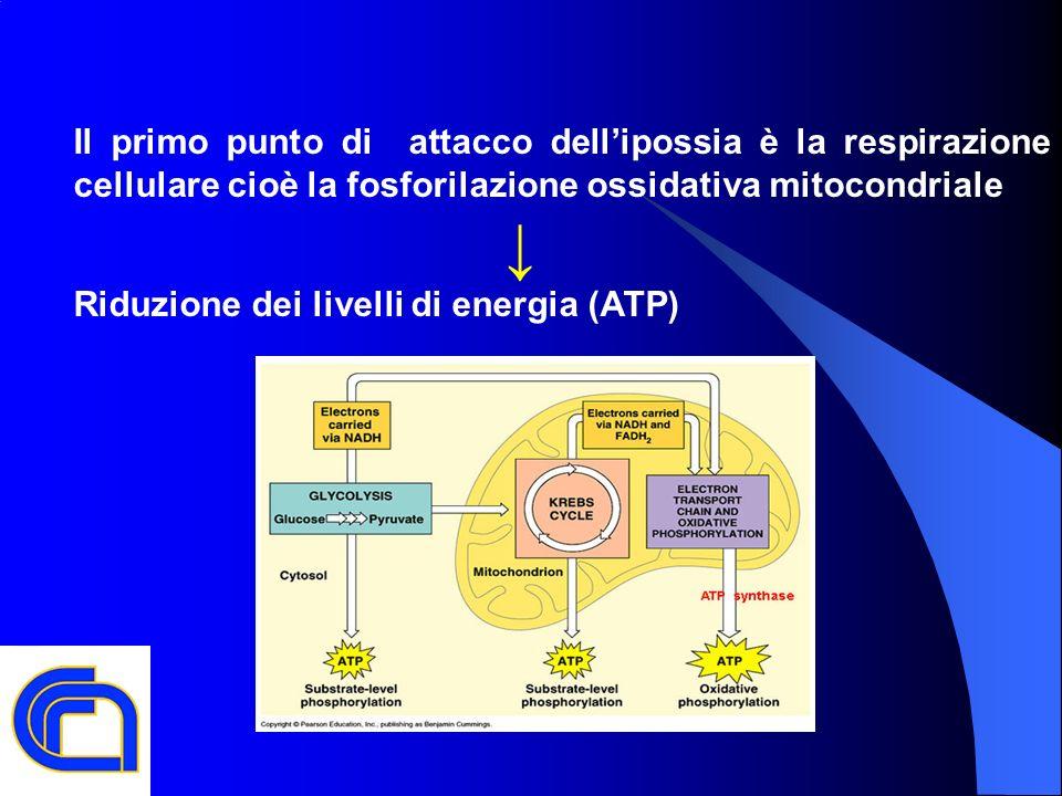 Il primo punto di attacco dellipossia è la respirazione cellulare cioè la fosforilazione ossidativa mitocondriale Riduzione dei livelli di energia (AT