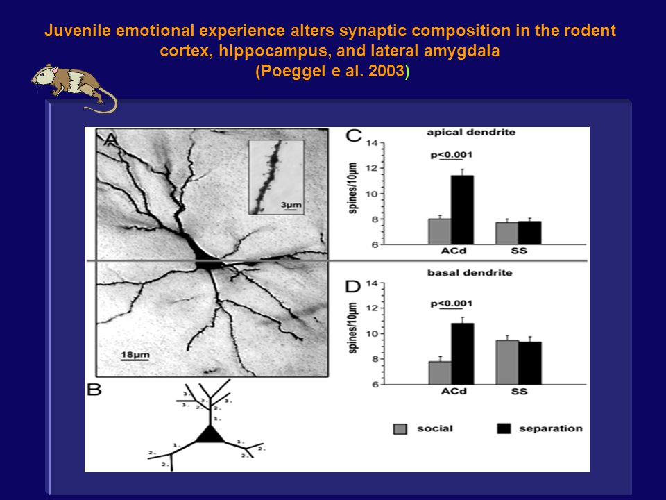 Juvenile emotional experience alters synaptic composition in the rodent cortex, hippocampus, and lateral amygdala (Poeggel e al. 2003)