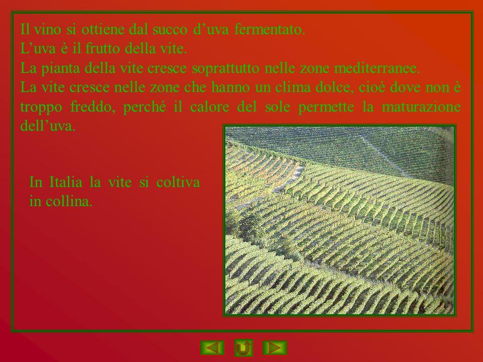 Il vino si ottiene dal succo duva fermentato. Luva è il frutto della vite. La pianta della vite cresce soprattutto nelle zone mediterranee. La vite cr