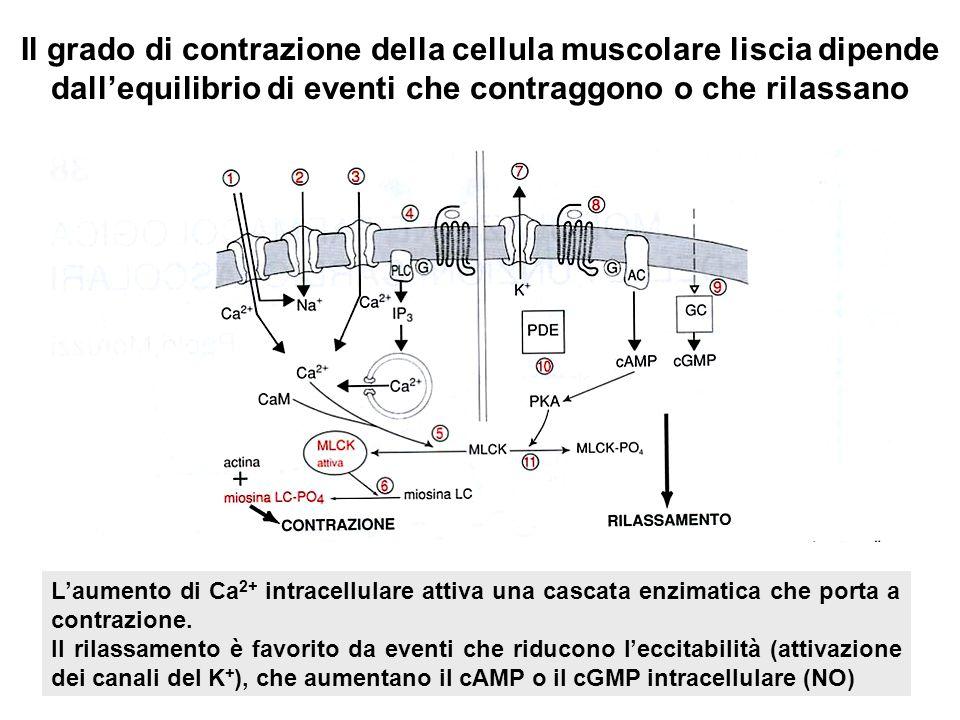 Il grado di contrazione della cellula muscolare liscia dipende dallequilibrio di eventi che contraggono o che rilassano Laumento di Ca 2+ intracellula