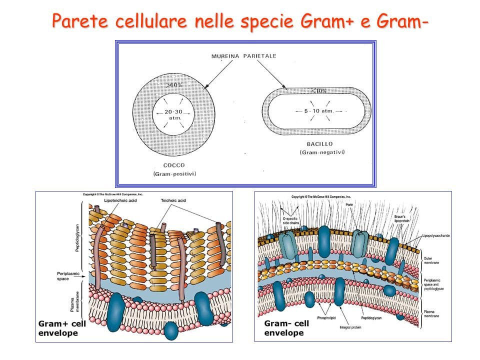 Parete cellulare nelle specie Gram+ e Gram-