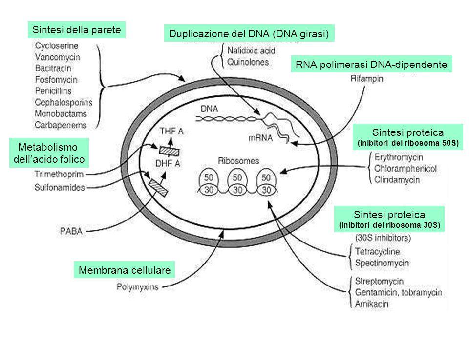 Sintesi della parete Metabolismo dellacido folico Duplicazione del DNA (DNA girasi) RNA polimerasi DNA-dipendente Sintesi proteica (inibitori del ribosoma 50S) Sintesi proteica (inibitori del ribosoma 30S) Membrana cellulare