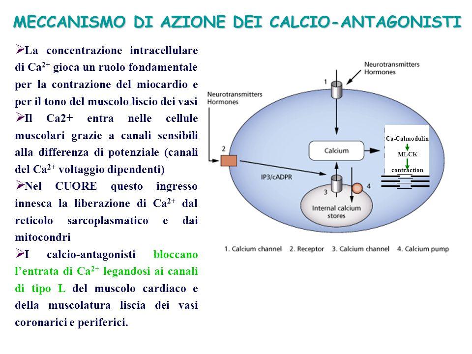 MECCANISMO DI AZIONE DEI CALCIO-ANTAGONISTI La concentrazione intracellulare di Ca 2+ gioca un ruolo fondamentale per la contrazione del miocardio e p