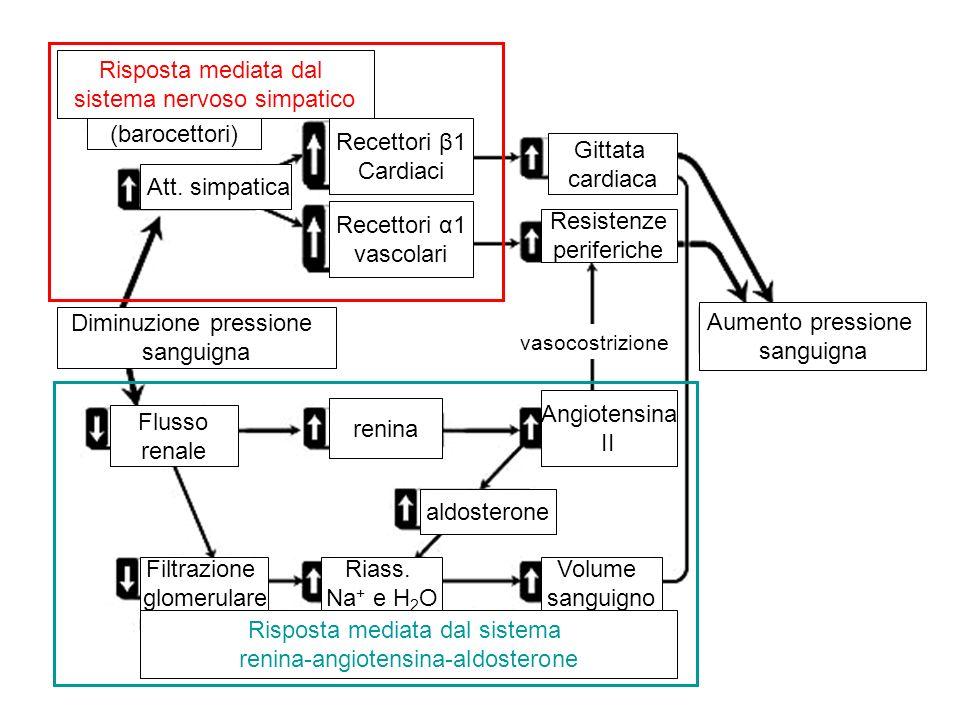 Diminuzione pressione sanguigna Aumento pressione sanguigna Risposta mediata dal sistema nervoso simpatico (barocettori) Risposta mediata dal sistema
