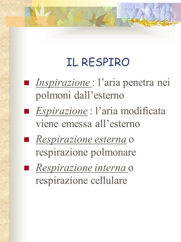 IL RESPIRO Inspirazione : laria penetra nei polmoni dallesterno Espirazione : laria modificata viene emessa allesterno Respirazione esterna o respiraz