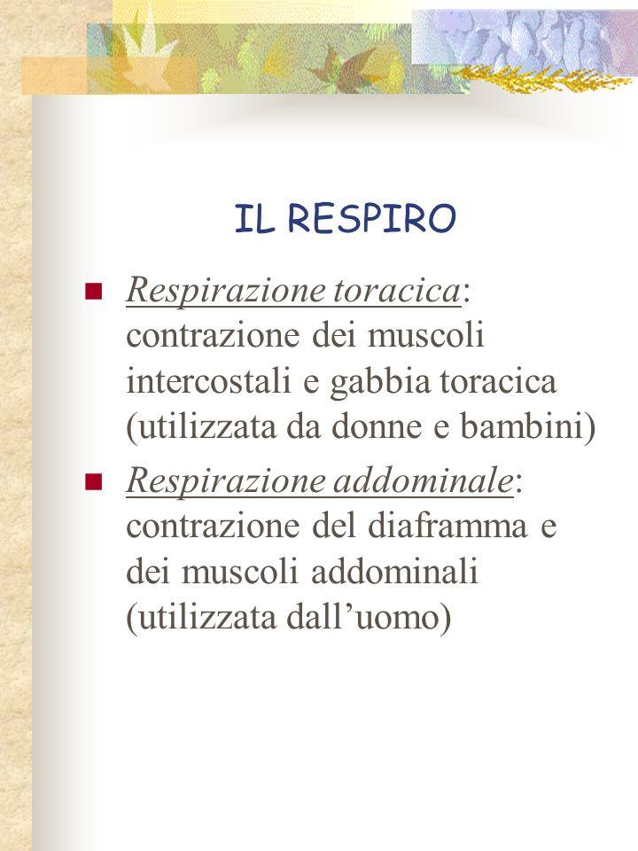 IL RESPIRO Respirazione toracica: contrazione dei muscoli intercostali e gabbia toracica (utilizzata da donne e bambini) Respirazione addominale: cont