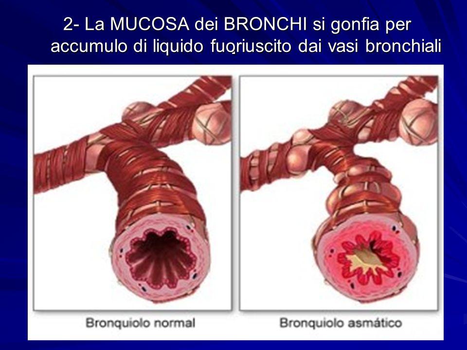 1 11. 1- I muscoli che avvolgono i BRONCHI si contraggono fino quasi a strozzarsi
