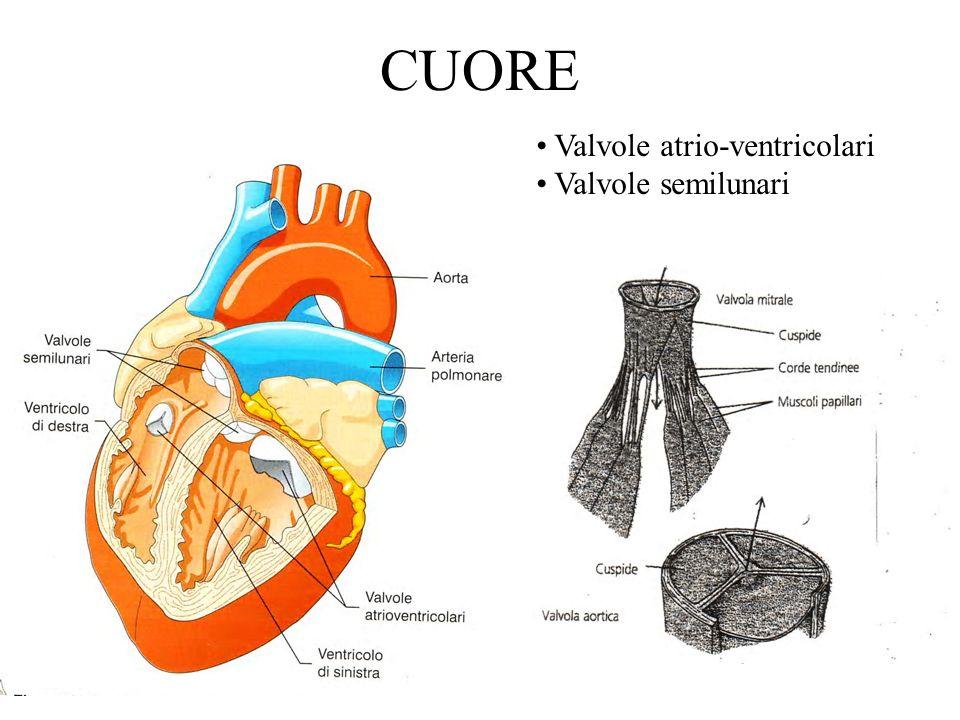 REGOLAZIONE INTRINSECA Gittata sistolica Mantenendo costante la frequenza, la gittata cardiaca varia molto poco al variare della pressione arteriosa; invece aumenta se viene aumentata la pressione venosa e quindi il ritorno venoso.