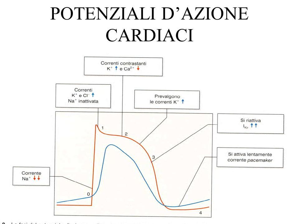 CORRENTE PACEMAKER La velocità della depolarizzazione spontanea determina la frequenza del ritmo cardiaco.