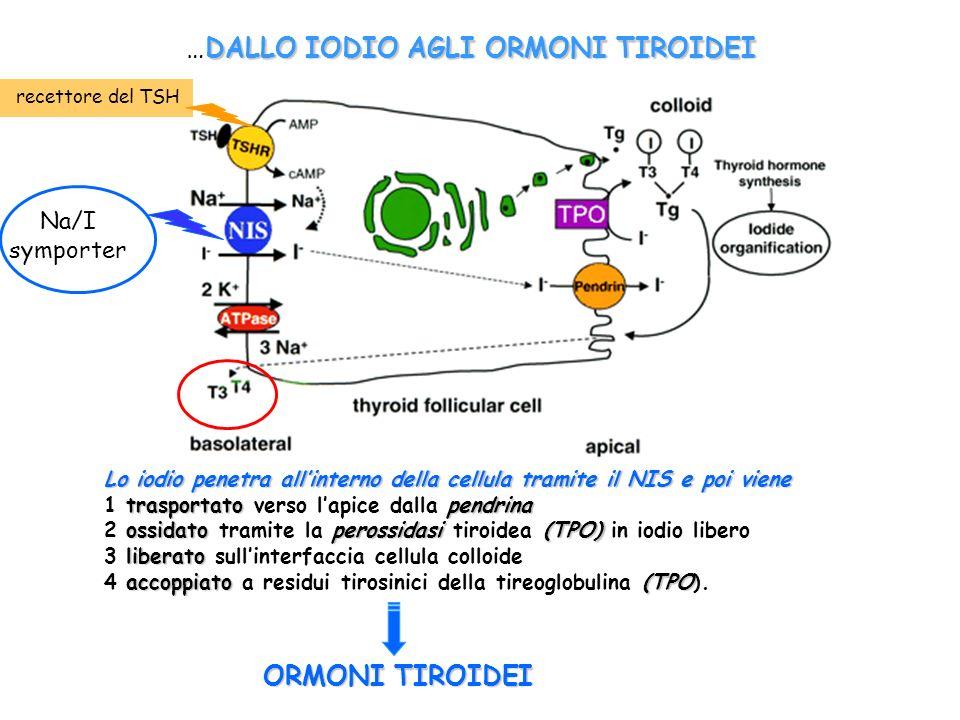 Lo iodio penetra allinterno della cellula tramite il NIS e poi viene trasportatopendrina 1 trasportato verso lapice dalla pendrina ossidato perossidas