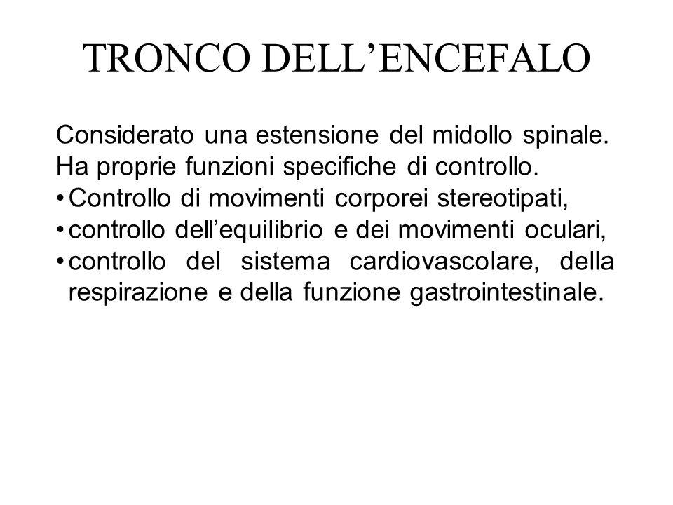 TRONCO DELLENCEFALO Considerato una estensione del midollo spinale. Ha proprie funzioni specifiche di controllo. Controllo di movimenti corporei stere
