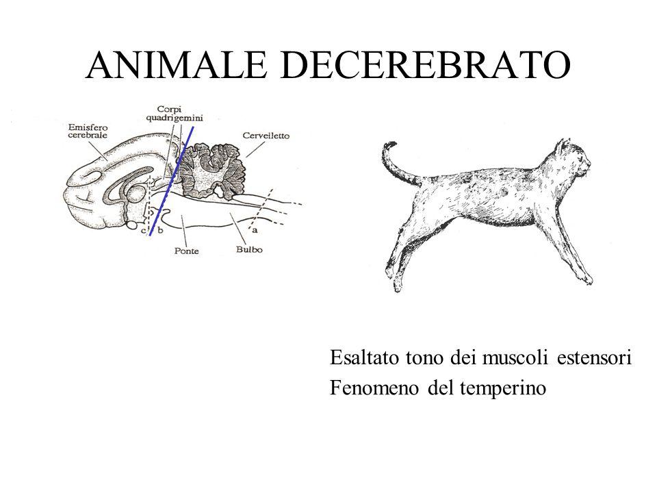 ANIMALE DECEREBRATO Esaltato tono dei muscoli estensori Fenomeno del temperino