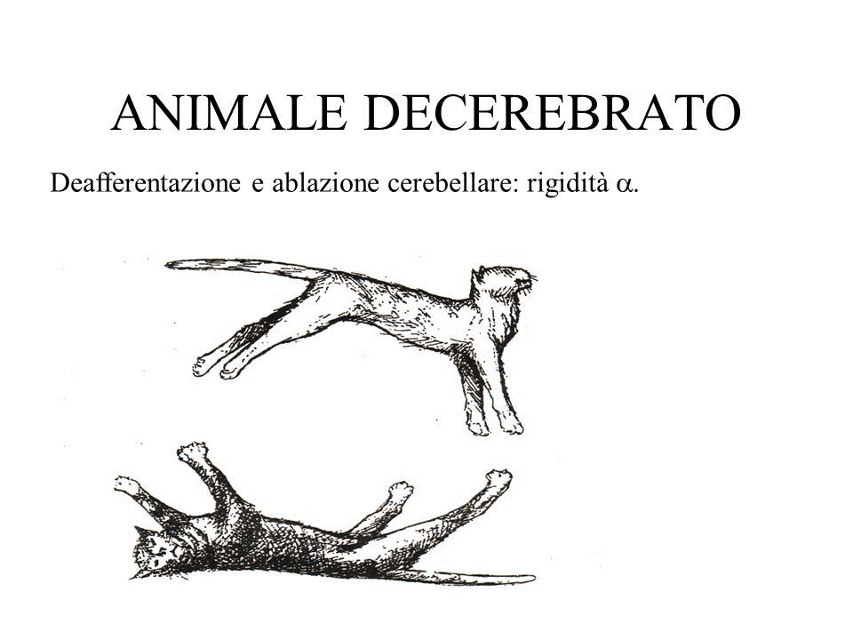 ANIMALE DECEREBRATO Deafferentazione e ablazione cerebellare: rigidità.