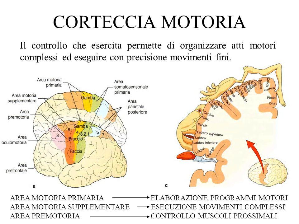 CORTECCIA MOTORIA Il controllo che esercita permette di organizzare atti motori complessi ed eseguire con precisione movimenti fini. AREA MOTORIA PRIM