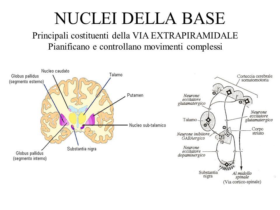 NUCLEI DELLA BASE Principali costituenti della VIA EXTRAPIRAMIDALE Pianificano e controllano movimenti complessi