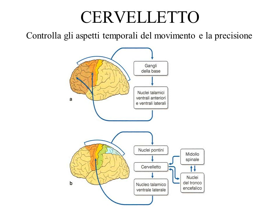 1.Midollo spinale, tronco dellencefalo e corteccia motoria sono coadiuvati dal cervelletto; collaborando con il midollo spinale rafforza il riflesso miotatico, con il tronco dellencefalo permettere lesecuzione di movimenti posturali regolari e continui, con la corteccia contribuisce alla programmazione delle contrazioni muscolari e alla precisione dei movimenti.