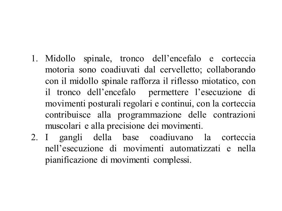 1.Midollo spinale, tronco dellencefalo e corteccia motoria sono coadiuvati dal cervelletto; collaborando con il midollo spinale rafforza il riflesso m