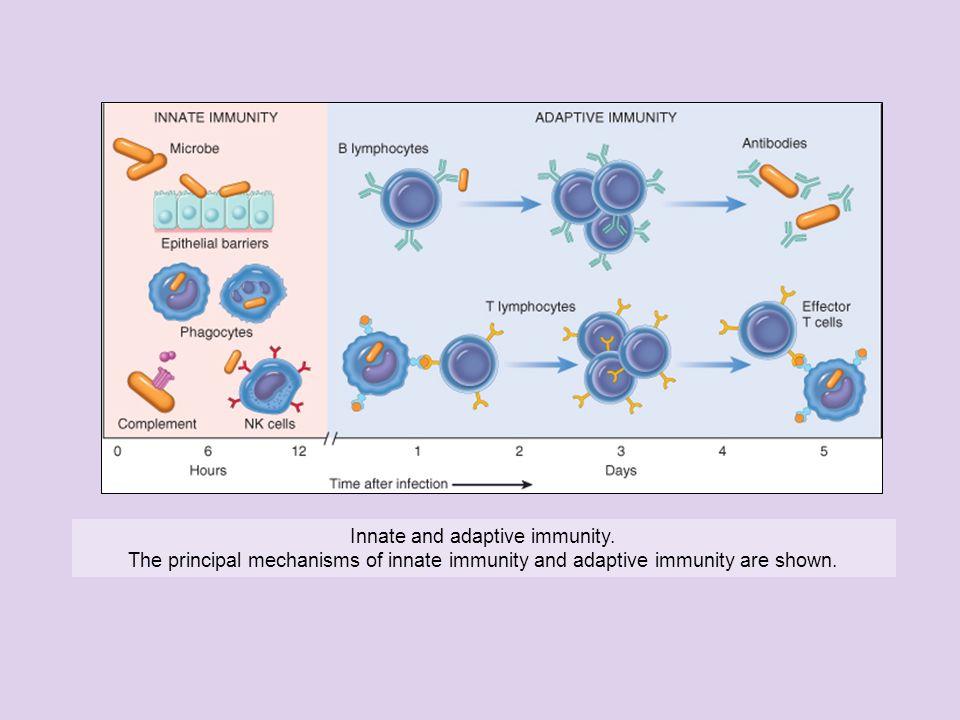 Innate and adaptive immunity. The principal mechanisms of innate immunity and adaptive immunity are shown.