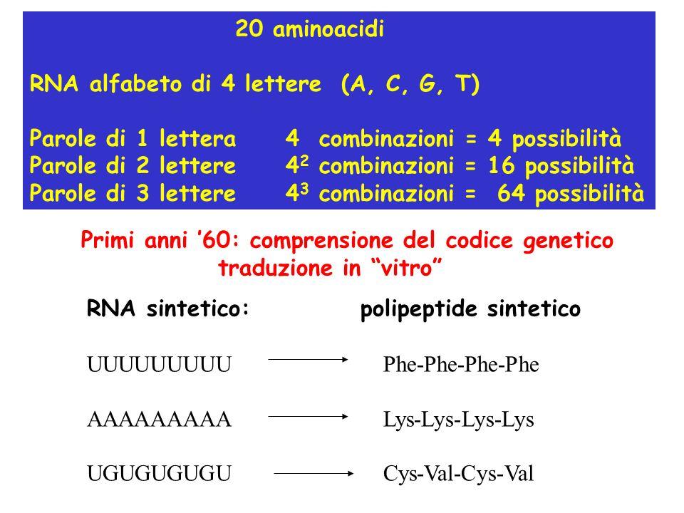 20 aminoacidi RNA alfabeto di 4 lettere (A, C, G, T) Parole di 1 lettera 4 combinazioni = 4 possibilità Parole di 2 lettere 4 2 combinazioni = 16 possibilità Parole di 3 lettere 4 3 combinazioni = 64 possibilità Primi anni 60: comprensione del codice genetico traduzione in vitro RNA sintetico:polipeptide sintetico UUUUUUUUU Phe-Phe-Phe-Phe AAAAAAAAA Lys-Lys-Lys-Lys UGUGUGUGU Cys-Val-Cys-Val