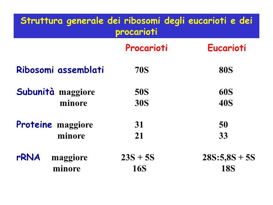 Struttura generale dei ribosomi degli eucarioti e dei procarioti Procarioti Eucarioti Ribosomi assemblati 70S 80S Subunità maggiore 50S 60S minore 30S 40S Proteine maggiore 31 50 minore 21 33 rRNA maggiore 23S + 5S 28S:5,8S + 5S minore 16S 18S