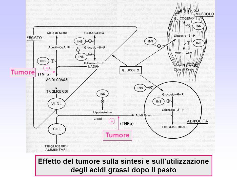 Effetto del tumore sulla sintesi e sullutilizzazione degli acidi grassi dopo il pasto Tumore - - (TNF ) ACIDI GRASSI TRIGLICERIDI