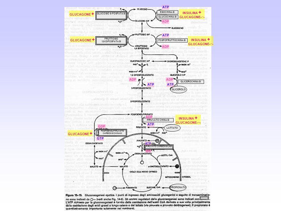 GLUCOSIO 6-FOSFATASI ESOCHINASI GLUCOCHINASI FRUTTOSIO 1,6-DIFOSFATASI FOSFOFRUTTOCHINASI GLICEROCHINASI PIRUVATO CHINASI FOSFOENOLPIRUVATO CARBOSSICH