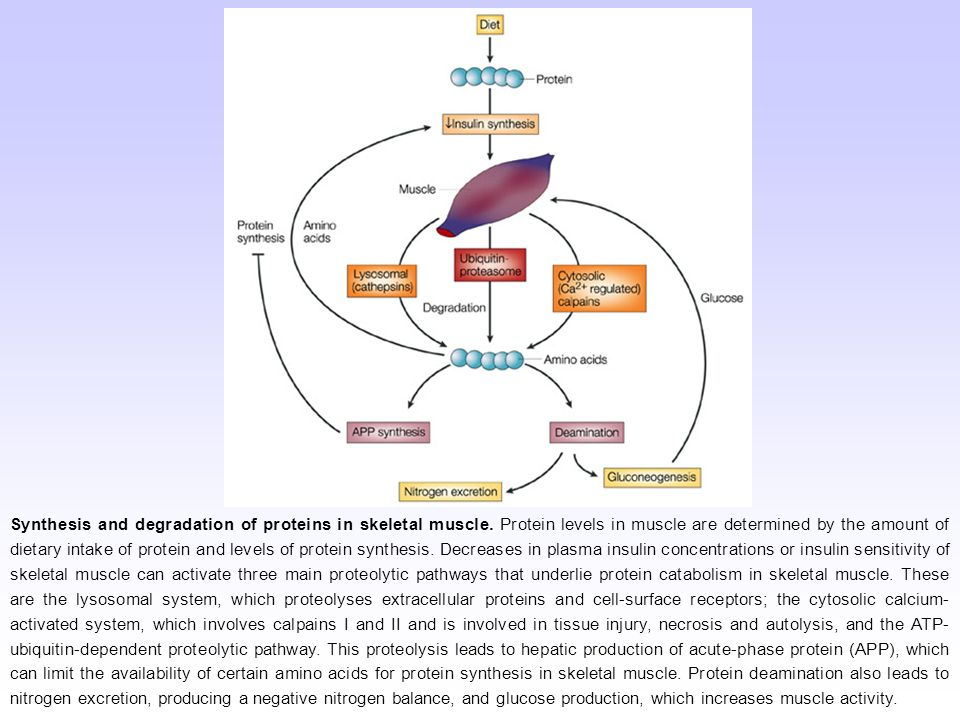 Synthesis and degradation of proteins in skeletal muscle. Protein levels in muscle are determined by the amount of dietary intake of protein and level