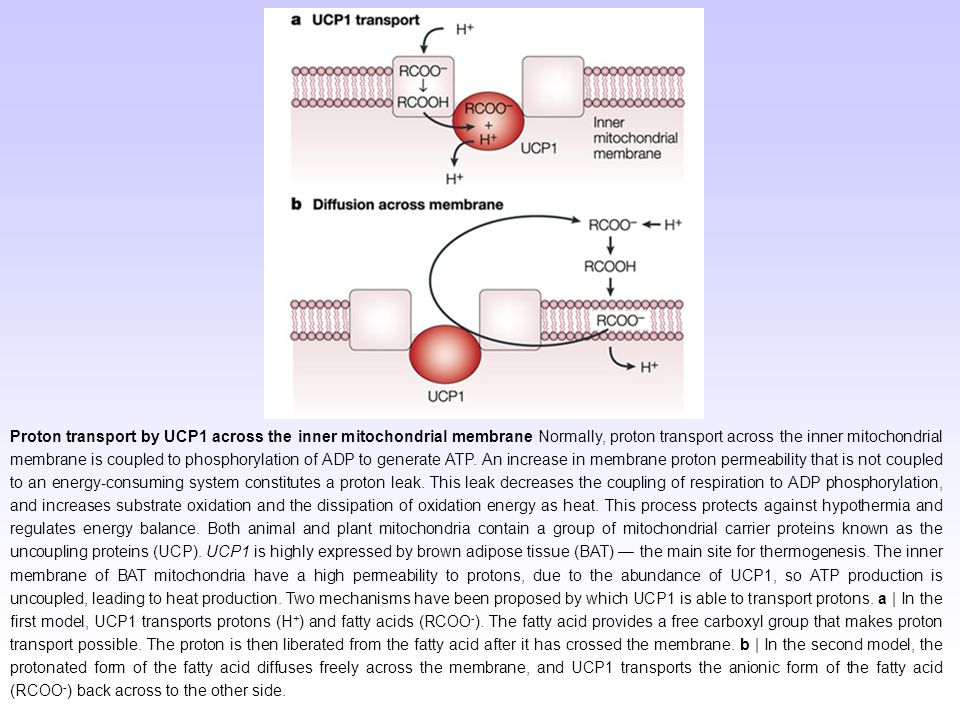 Proton transport by UCP1 across the inner mitochondrial membrane Normally, proton transport across the inner mitochondrial membrane is coupled to phos