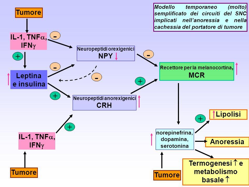 Lipolisi Recettore per la melanocortina, MCR Neuropeptidi anorexigenici CRH + norepinefrina, dopamina, serotonina IL-1, TNF, IFN Tumore + Leptina e in
