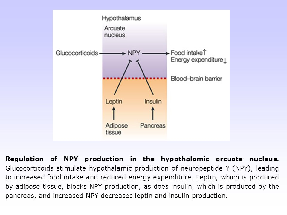 Regulation of NPY production in the hypothalamic arcuate nucleus. Glucocorticoids stimulate hypothalamic production of neuropeptide Y (NPY), leading t