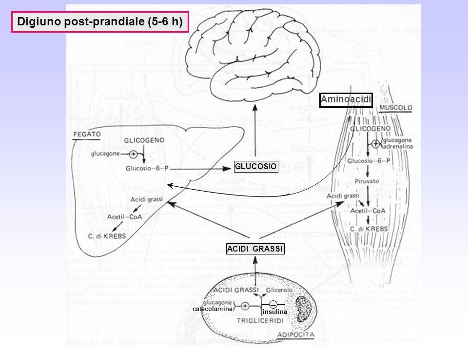 Digiuno post-prandiale (5-6 h) Aminoacidi ACIDI GRASSI insulina catecolamine _ GLUCOSIO