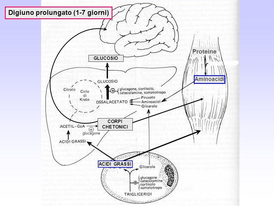 Digiuno prolungato (1-7 giorni) Aminoacidi CORPI CHETONICI glucagone + ACIDI GRASSI Proteine GLUCOSIO