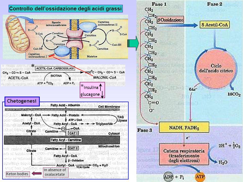 Controllo dellossidazione degli acidi grassi Chetogenesi * * insulina glucagone Keton bodies in absence of oxalacetate