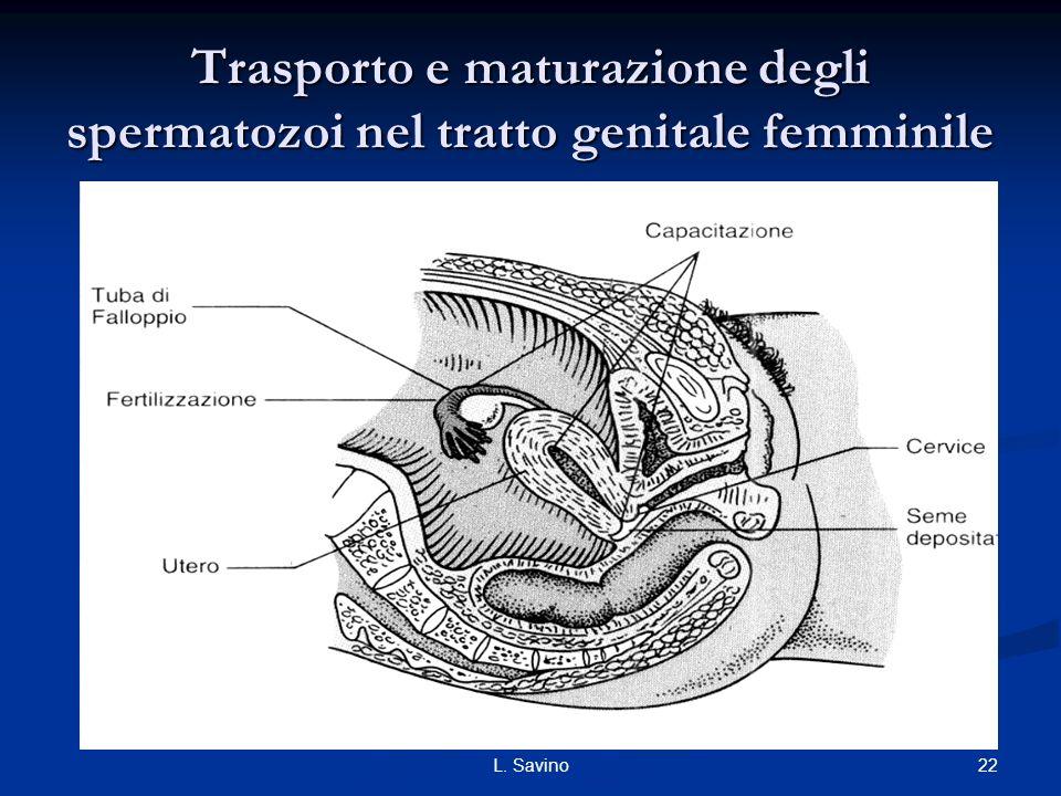 22L. Savino Trasporto e maturazione degli spermatozoi nel tratto genitale femminile