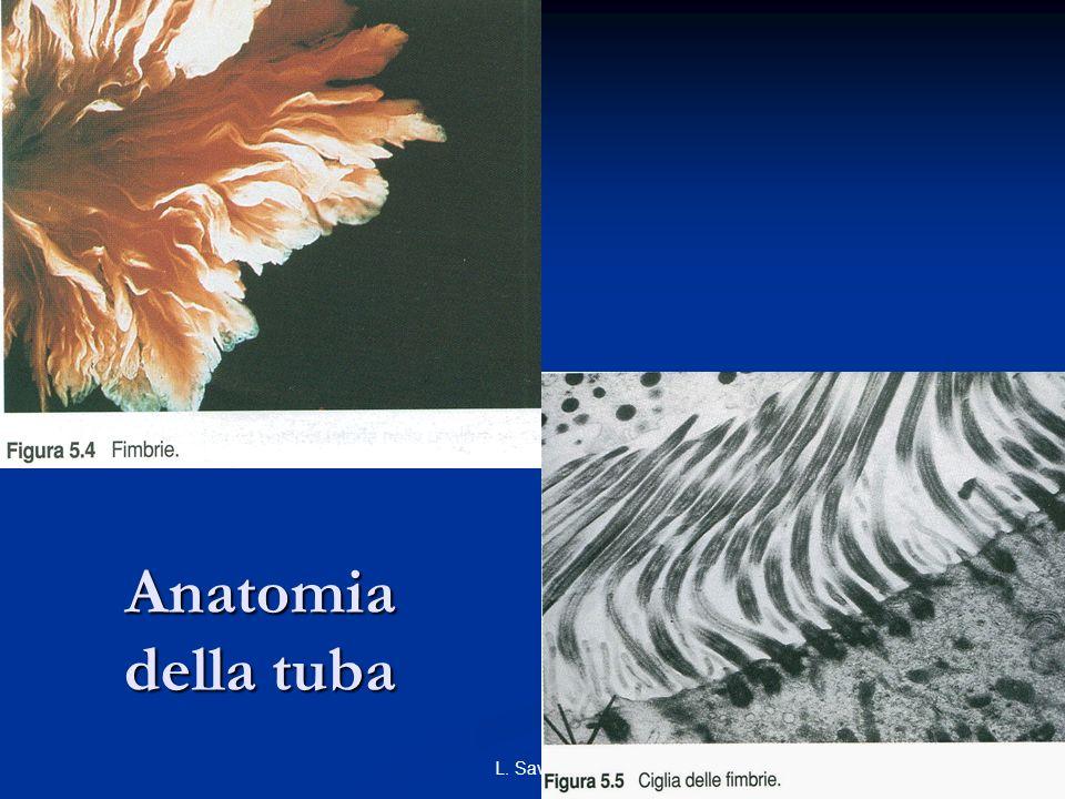 23L. Savino Anatomia della tuba