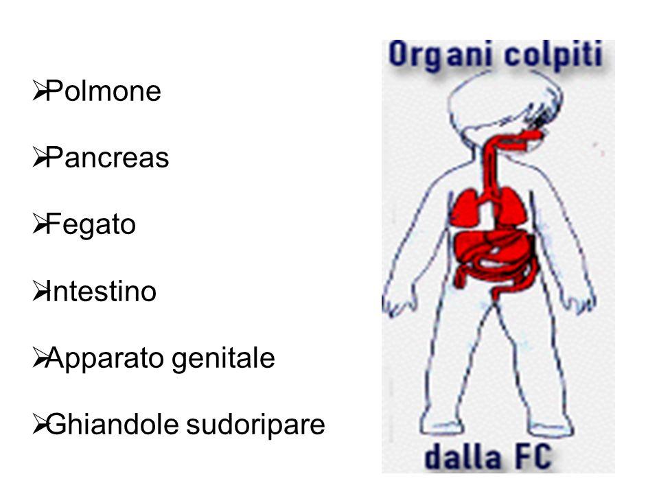 Polmone Pancreas Fegato Intestino Apparato genitale Ghiandole sudoripare