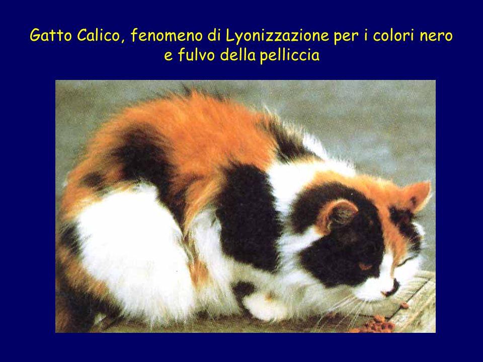Gatto Calico, fenomeno di Lyonizzazione per i colori nero e fulvo della pelliccia
