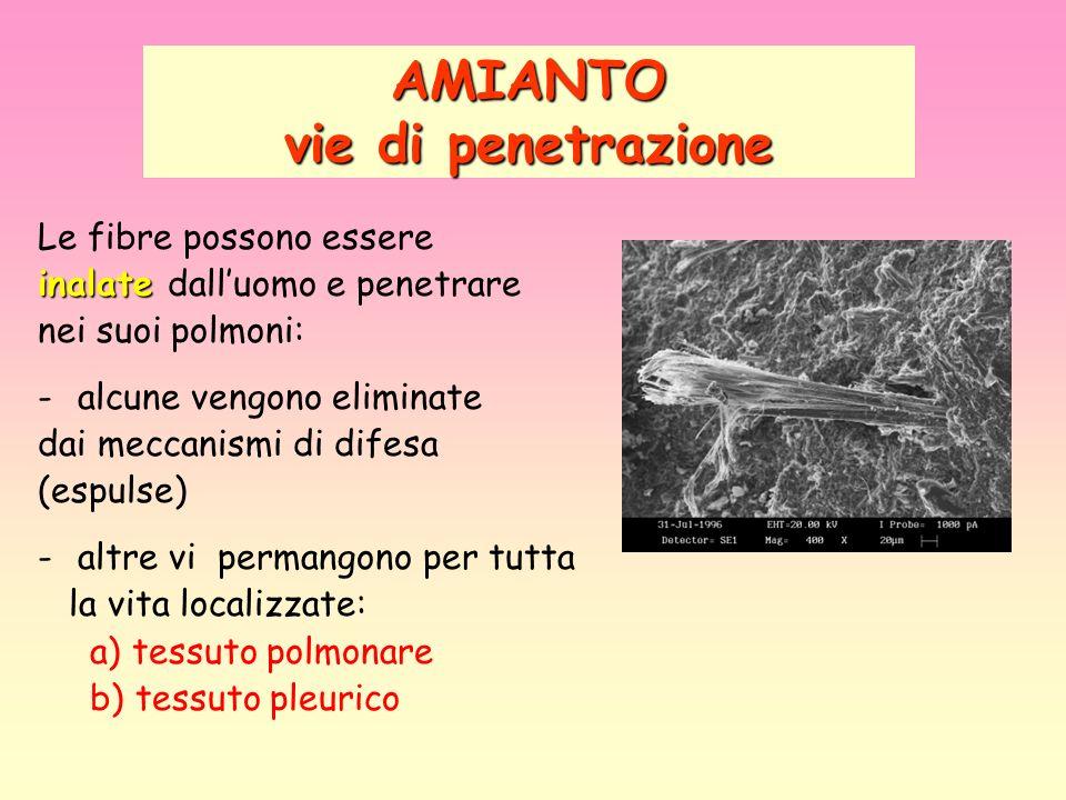 AMIANTO vie di penetrazione Le fibre possono essere inalate inalate dalluomo e penetrare nei suoi polmoni: -alcune vengono eliminate dai meccanismi di